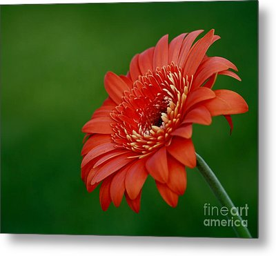 Wonder Of Nature Gerber Daisy Metal Print by Inspired Nature Photography Fine Art Photography