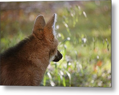 Wondering Wolf Metal Print by Karol Livote