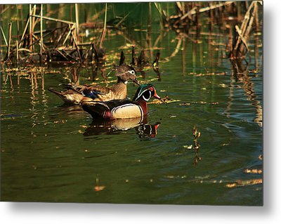 Metal Print featuring the photograph Wood Duck Pair by Josef Pittner