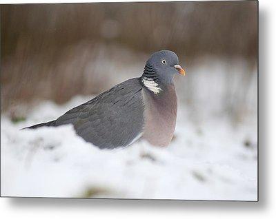 Wood Pigeon In Snow Metal Print by Colin Varndell