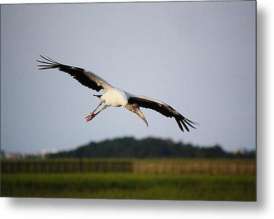 Wood Stork In Flight Metal Print by Paulette Thomas