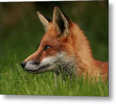 Yearling Fox Metal Print by Jacqui Collett