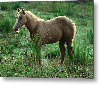 Yearling Palomino Chewing On A Stick - C0482c Metal Print by Paul Lyndon Phillips