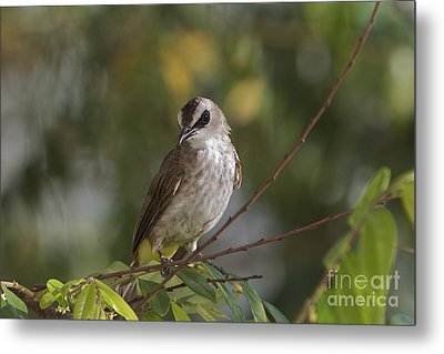Yellew Vented Bul Bul  Metal Print by Gary Bridger