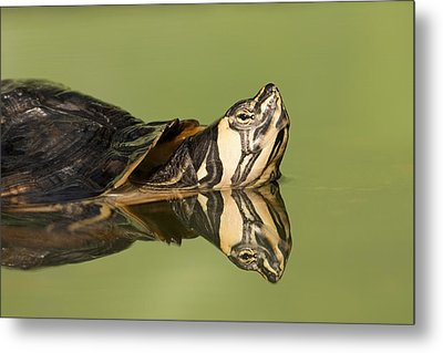 Yellow-bellied Slider Trachemys Scripta Metal Print by Ingo Arndt