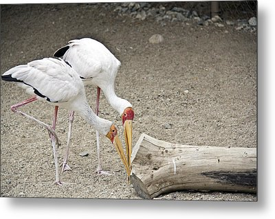 Yellow-billed Storks Metal Print