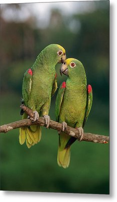 Yellow-crowned Parrot Amazona Metal Print by Thomas Marent