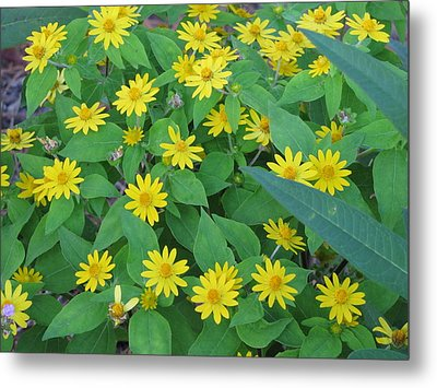 Yellow Daisies Metal Print by RobLew Photography