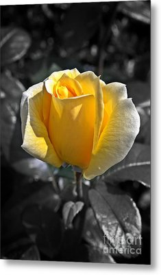Yellow English Rose Vertical Metal Print by Stephen Clarridge