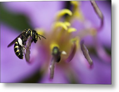 Yellow Faced Bee Metal Print