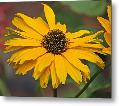 Metal Print featuring the photograph Yellow Gerber Daisy by Eve Spring