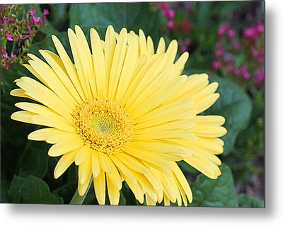 Yellow Gerbera Metal Print by Becky Lodes