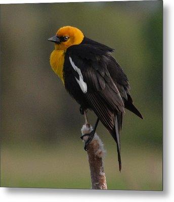 Yellow-headed Blackbird Metal Print by Ansel Price