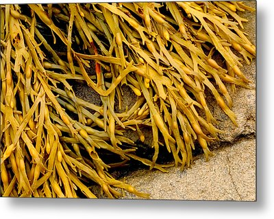 Metal Print featuring the photograph Yellow Kelp by Brent L Ander