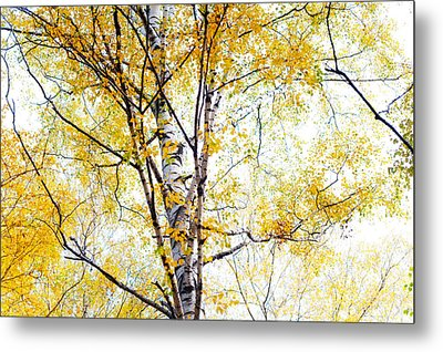 Yellow Lace Of The Birch Foliage  Metal Print by Jenny Rainbow