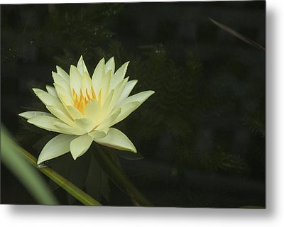 Yellow Lotus Metal Print by Lisa Missenda