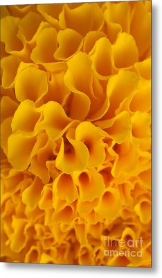 Yellow Marigold Macro View Metal Print by Atiketta Sangasaeng