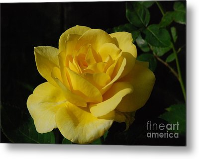 Yellow Rose Close Up Metal Print by Mark McReynolds
