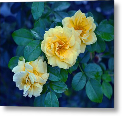 Metal Print featuring the photograph Yellow Roses by Rodney Campbell