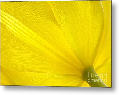 Yellow Tulip Metal Print by Sharon Talson