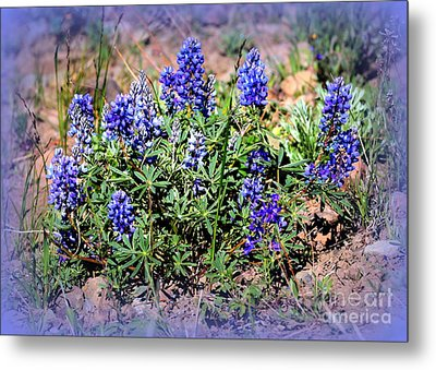 Yellowstone Lupine Blue Metal Print by Carol Groenen