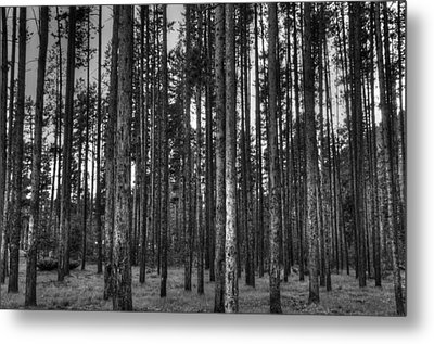 Yellowstone Trees Bw Metal Print by Bruce Friedman
