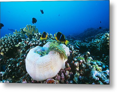 Yellowtail Anemonefish By Their Anemone Metal Print by Alexis Rosenfeld