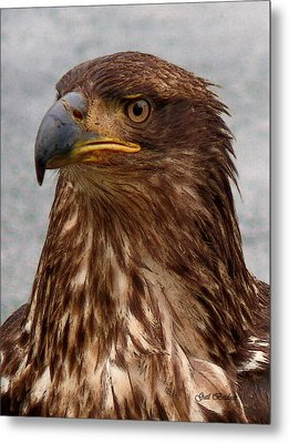 Young Bald Eagle Portrait Metal Print