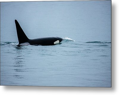 Young Bay Orca Metal Print by Josh Whalen