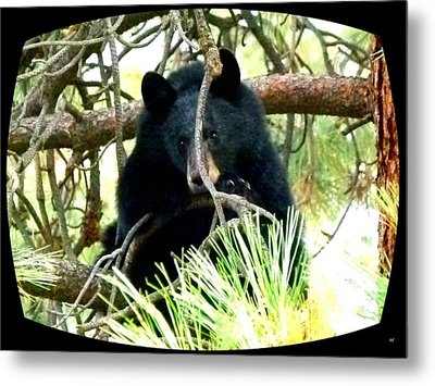 Young Black Bear Metal Print by Will Borden