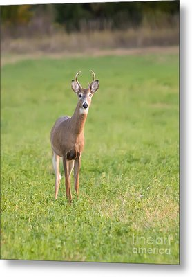Young Buck Metal Print by Art Whitton
