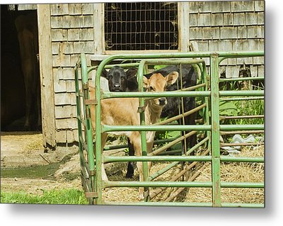 Young Calf In Fence Pen Near Barn Summer Maine Metal Print by Keith Webber Jr