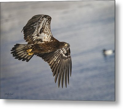 Young Eagle  Duck 3 O'clock Metal Print