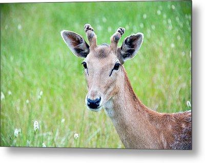 Young Fawn, Red Fallow Deer Buck Metal Print