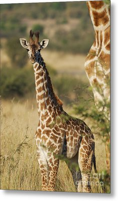 Young Giraffe In The Mara Metal Print by Alan Clifford