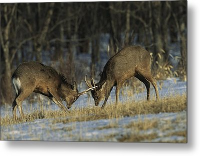 Young Male Sika Deer Practice Sparring Metal Print by Tim Laman