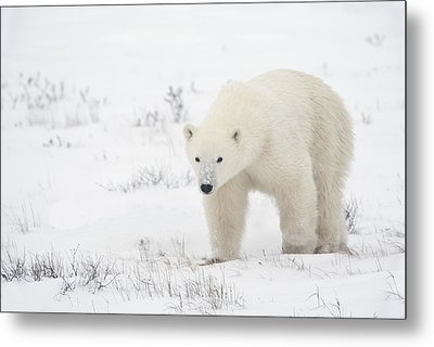 Young Polar Bear Ursus Maritimus Walks Metal Print by Richard Wear