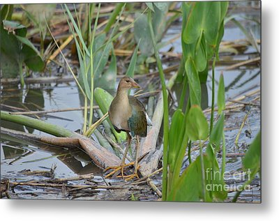Young Purple Gallinule Metal Print by Kathy Gibbons