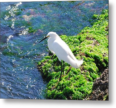 Young Snowy Egret Metal Print