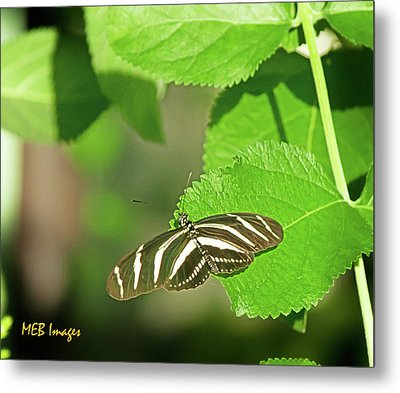Zebra Butterfly Metal Print by Margaret Buchanan
