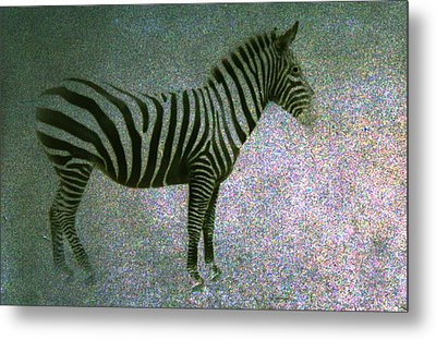 Metal Print featuring the photograph Zebra by Kelly Hazel