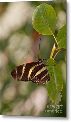 Zebra Longwing Butterfly Metal Print by Dejan Jovanovic