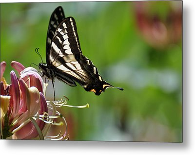 Metal Print featuring the photograph Zebra Swallowtail Sipping Honeysuckle by Ronda Broatch