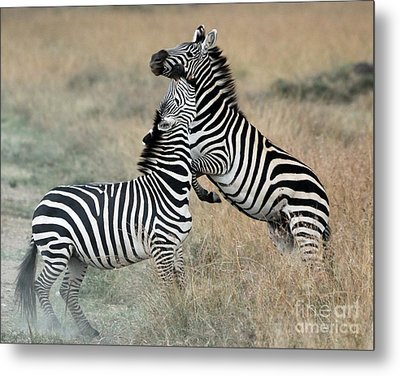 Zebras Fighting Metal Print by Alan Clifford