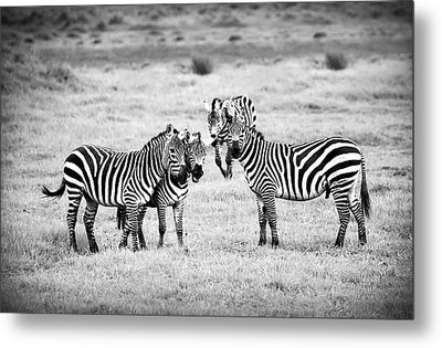 Zebras In Black And White Metal Print by Sebastian Musial