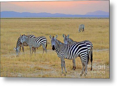 Zebras In The Morning Metal Print by Pravine Chester