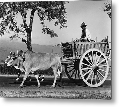 Zebu Cart Metal Print by Richard Harrington