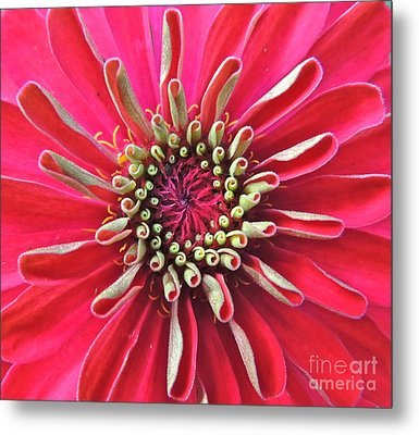 Metal Print featuring the photograph Zinnia Macro by Eve Spring