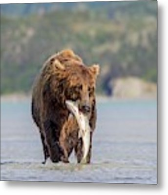 Brown Bear With Salmon Metal Print