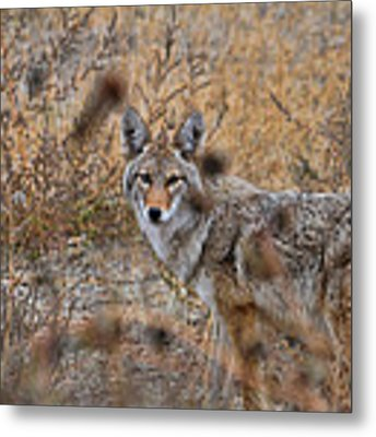 Coyote Eyes Metal Print by David Armstrong